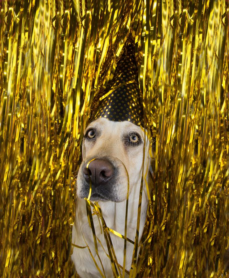 Dog celebrating a birthday or new year party. stock photography