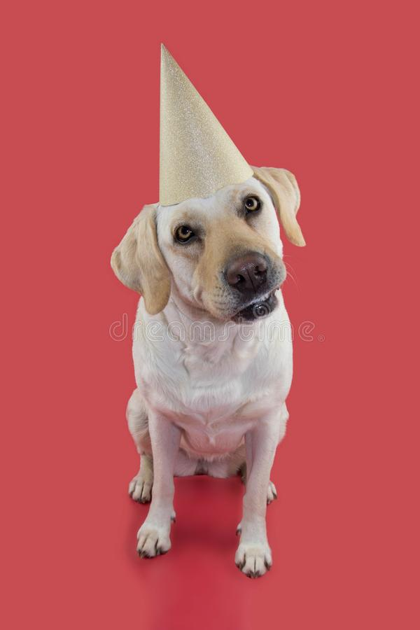 DOG CELEBRATING A BIRTHDAY OR NEW YEAR PARTY. WEARING A GLITTER GOLDEN HAT. ISOLATED SHOT AGAINST CORAL BACKGROUND.  stock photo
