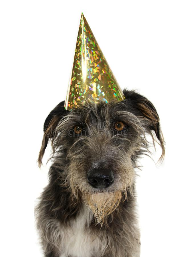 DOG CELEBRATING A BIRTHDAY OR NEW YEAR WEARING A GOILDEN GLITTER PARTY HAT. ISOLATED ON WHITE BACKGROUND.  stock image