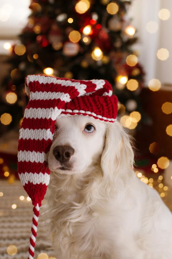 DOG CELEBRATING CHRISTMAS. WHITE PUPPY  WEARING A STRIPED SANTA CLAUS HAT SITTING NEXT TO CHRISTMAS TREE LIGHTS royalty free stock photo