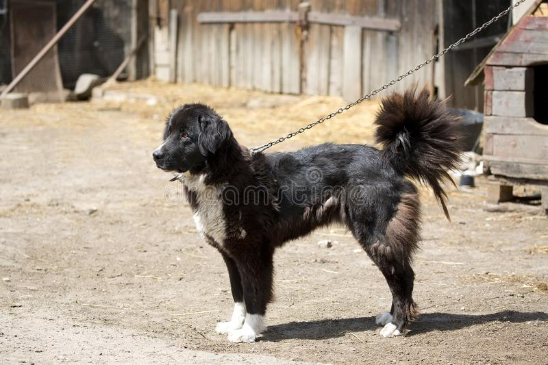 Dog on the chain. In captivity royalty free stock images