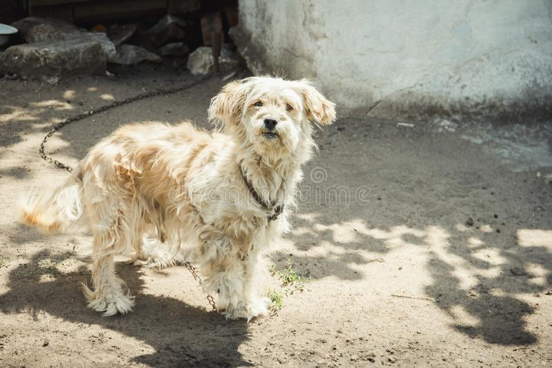 Dog on chain guarded house. The dog protects the house. Looking at the camera royalty free stock image