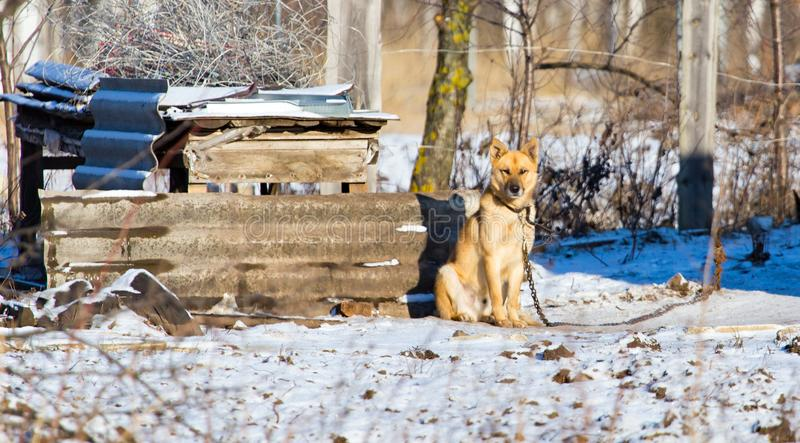 Dog on the chain near the house. In winter stock images
