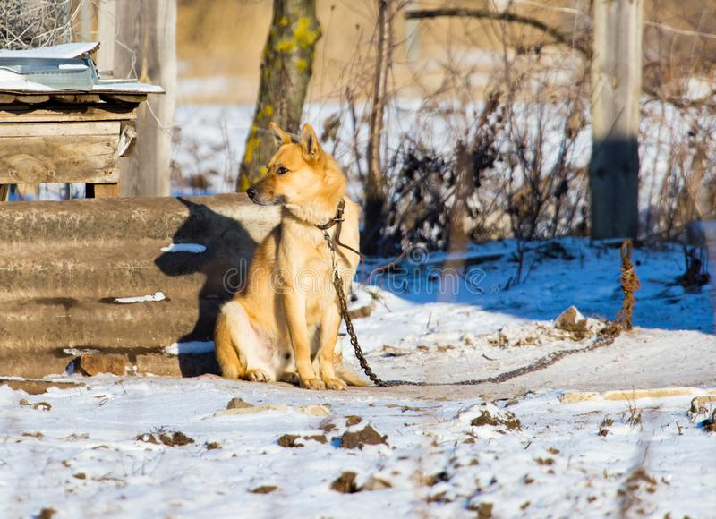Dog on the chain near the house. In winter stock photo