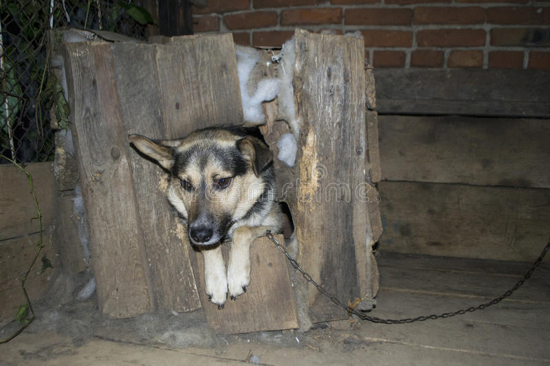 Dog on the chain, protects the house. Dog on a chain. The dog protects the house stock photo