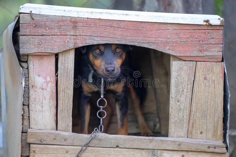 Dog on chain stands in the dog house. And looking at camera royalty free stock photo
