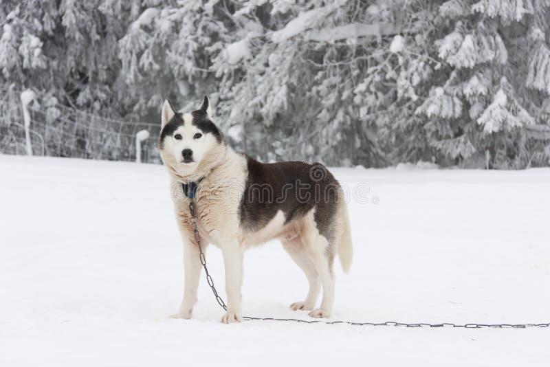 Alaskan Malamute Dog In Chain At Winter Royalty Free Stock Photos