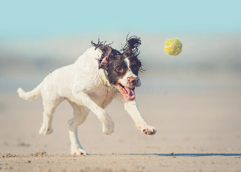 Dog chasing ball. At speed on Summer beach royalty free stock images