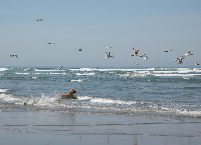 Download A Dog Chasing Seagulls At The Beach Stock Image - Image: 12269685