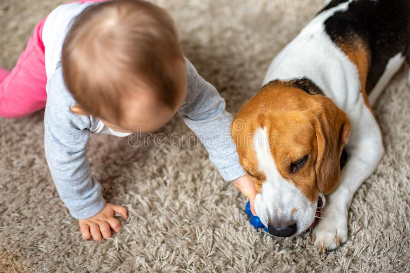 Dog chewing his toy on a carpet. Baby plays with him trying to grab his toy. royalty free stock photo