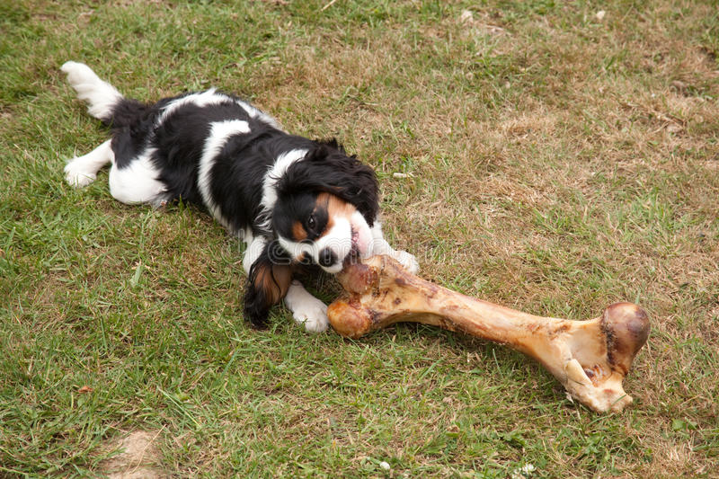 Dog chewing on huge bone royalty free stock images