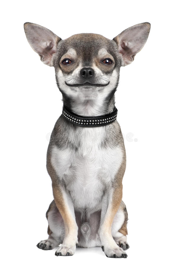 Dog ( chihuahua ) looking at the camera, smiling. In front of a white background (Digital enhancement royalty free stock images