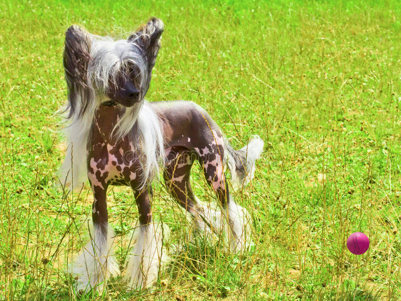 Dog Chinese Crested breed with red ball stock images