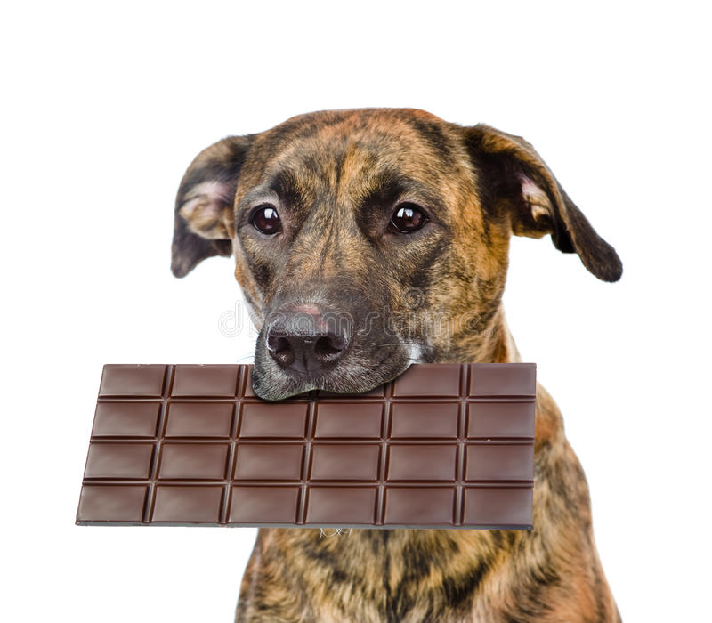 Dog with chocolate in the mouth. isolated on white background.  royalty free stock photo