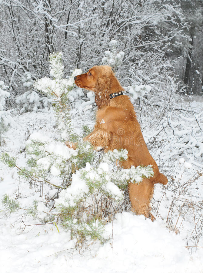 Dog chooses a fur-tree royalty free stock images