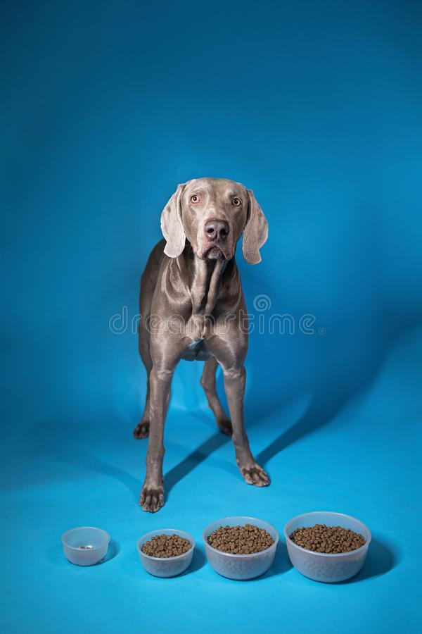 Dog choosing bowl with dry food on blue background stock photography