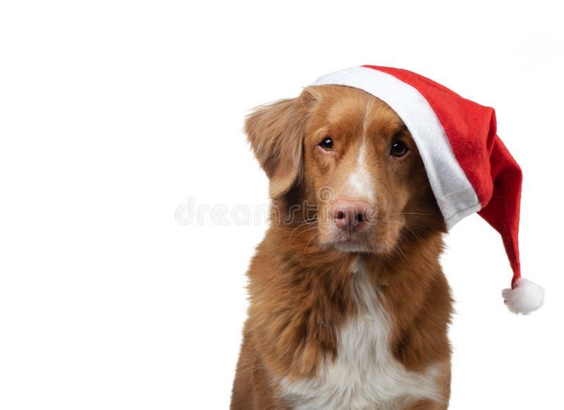 Dog In A Christmas Cap Nova Scotia Duck Tolling Retriever On A