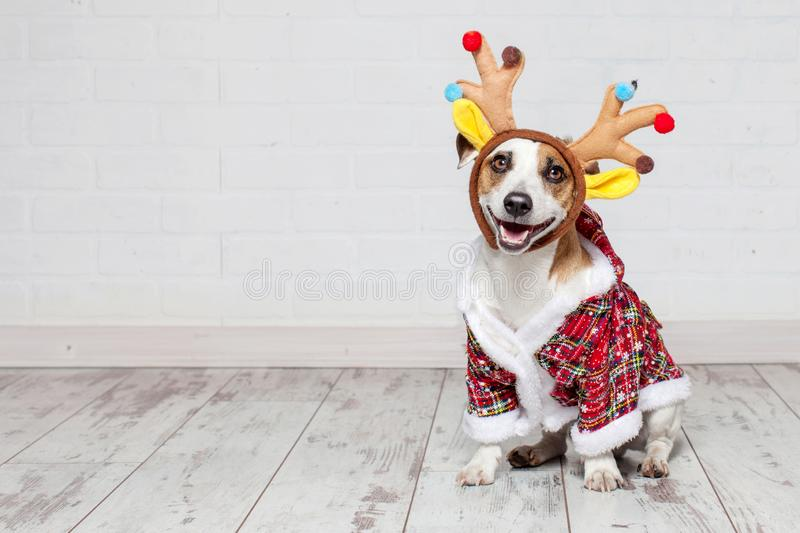Dog in a christmas costume. Happy pet royalty free stock photography