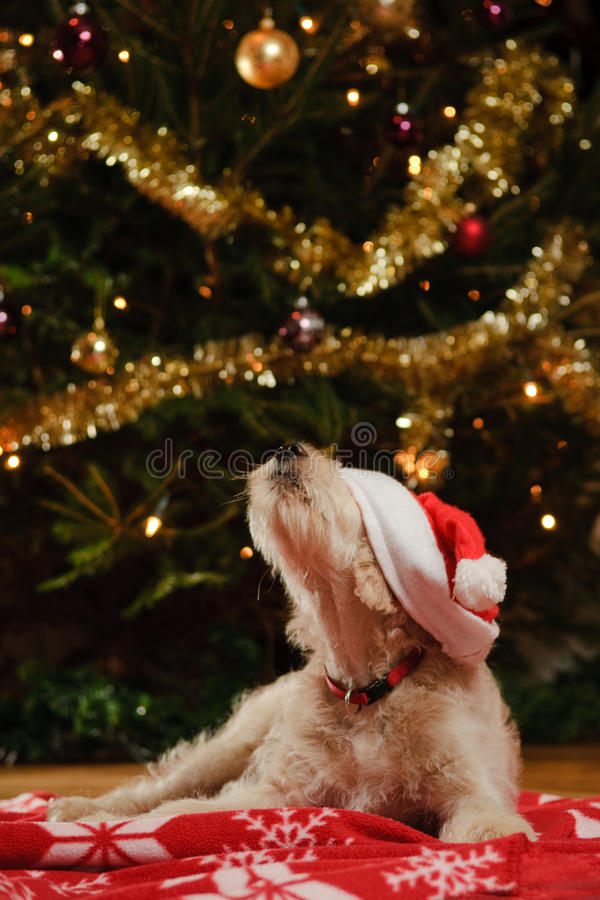Dog with Christmas hat. Funny picture of a puppy dog wearing a christmas hat which is covering his eyes, with his nose sniffing in the air. Christmas tree in the