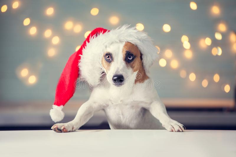 Dog in christmas hat stock images
