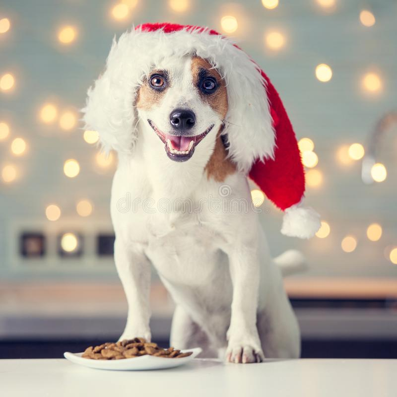 Dog in christmas hat eating food royalty free stock images