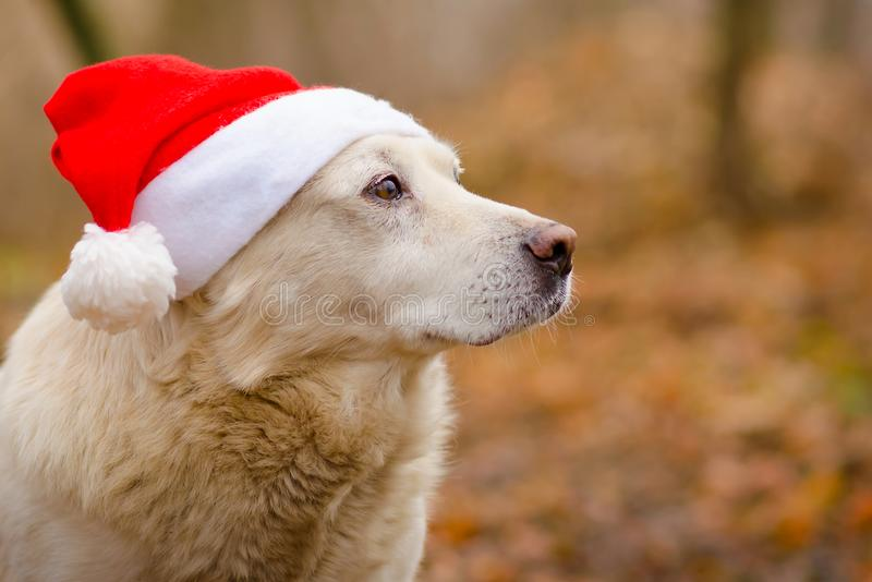 Dog in the christmas hat royalty free stock photos