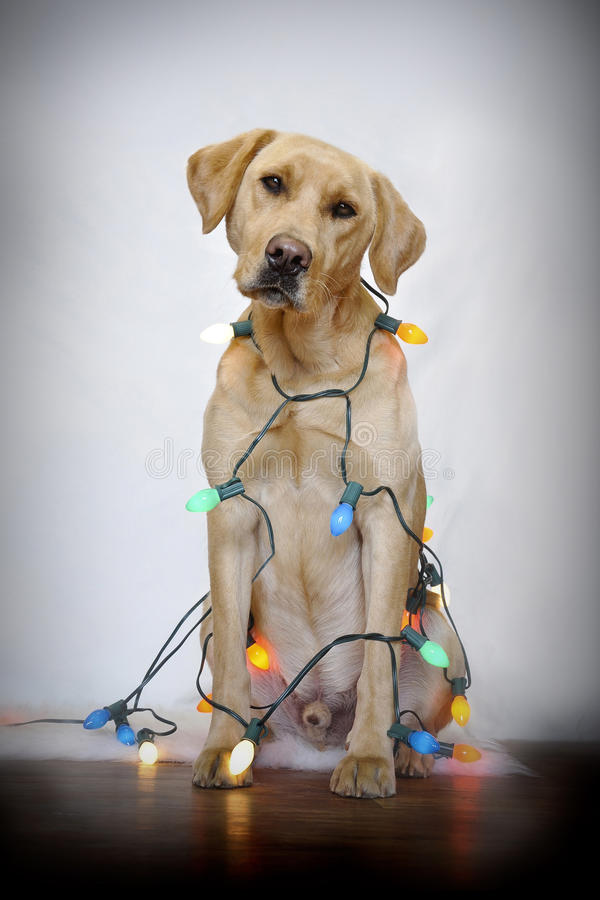 Dog and Christmas lights royalty free stock photography