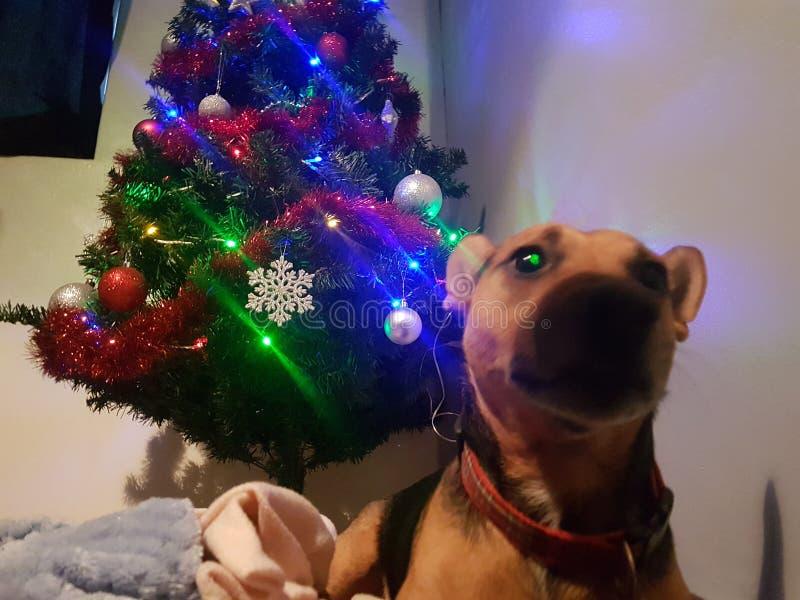Dog christmas royalty free stock image