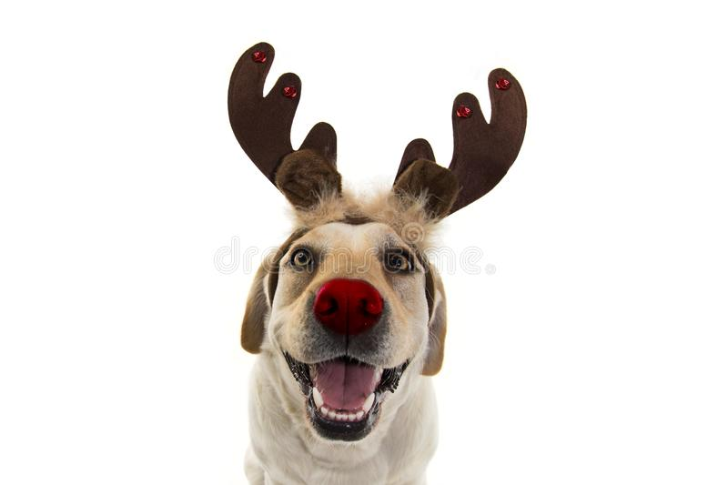 DOG CHRISTMAS REINDEER ANTLERS. FUNNY LABRADOR WITH RED NOSE AND HOLIDAYS COSTUME. ISOLATED AGAINST WHITE BACKGROUND stock photos