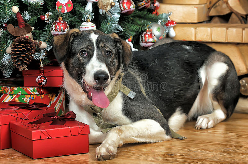 Dog in Christmas. At the Christmas tree with gifts stock image