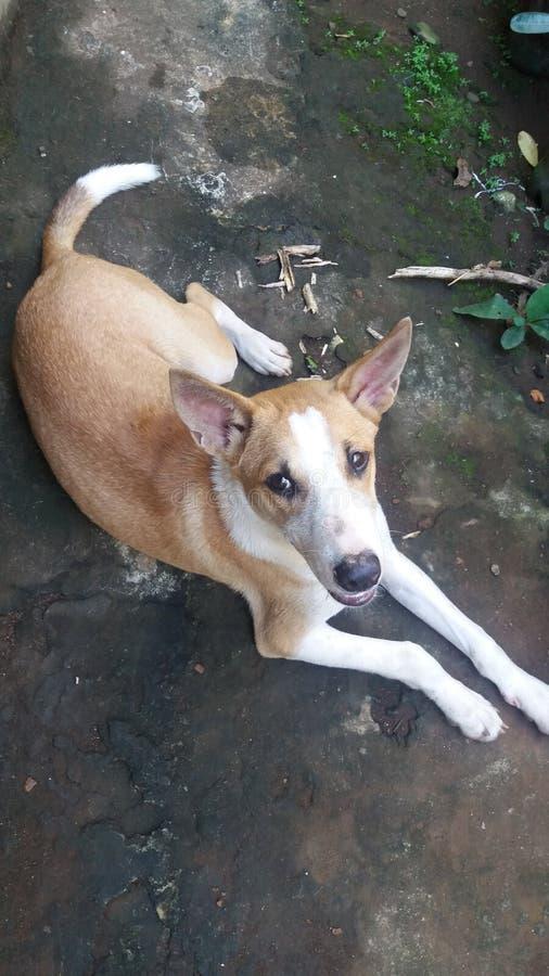 Dog ci hua hua royalty free stock photos
