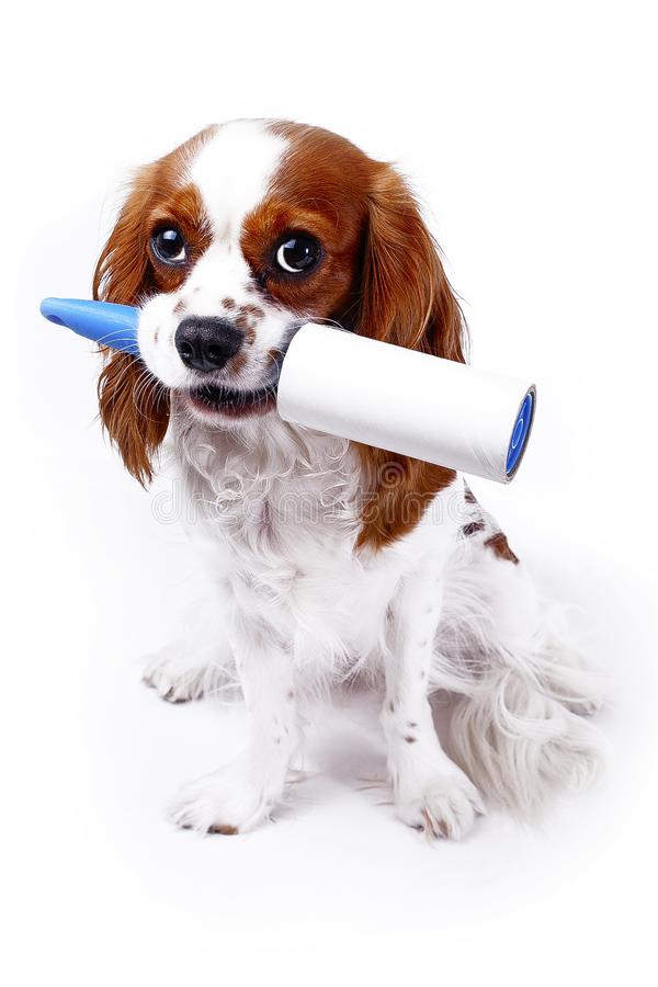 Dog with cleaning roll tape against hairy furry cloth. Dog with lint roller cleaning tool can illustrate hair loss dog stock photography