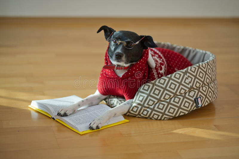 Dog with clever and kind eyes lying on his couch in the middle of an empty room. The owners jokingly dressed her in a red suit and glasses. The dog put his royalty free stock photography