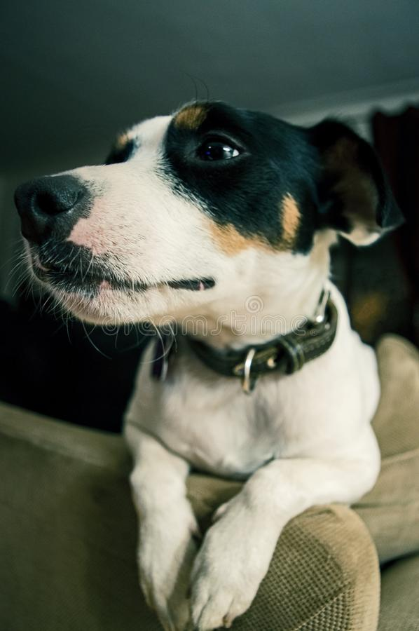 Cute Jack Russell TerrierDog at home stock image