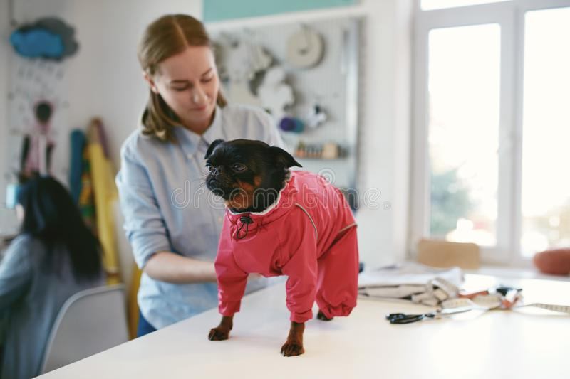 Dog Clothes. Female Tailor Wearing Suit On Pet. Dog Clothes. Female Tailors Wearing Bright Red Suit On Pet On Table In Atelier stock image