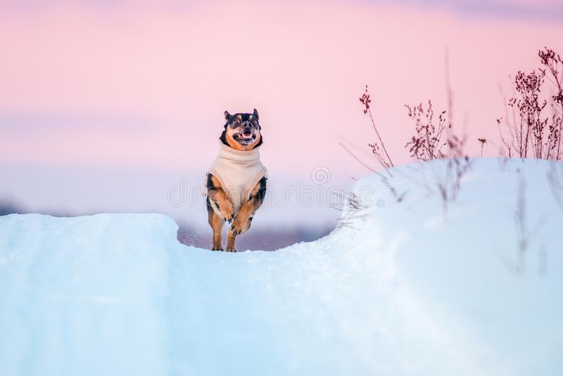 Happy dog run in winter. Dog with clothes run in winter snowy path, beautiful sunset color