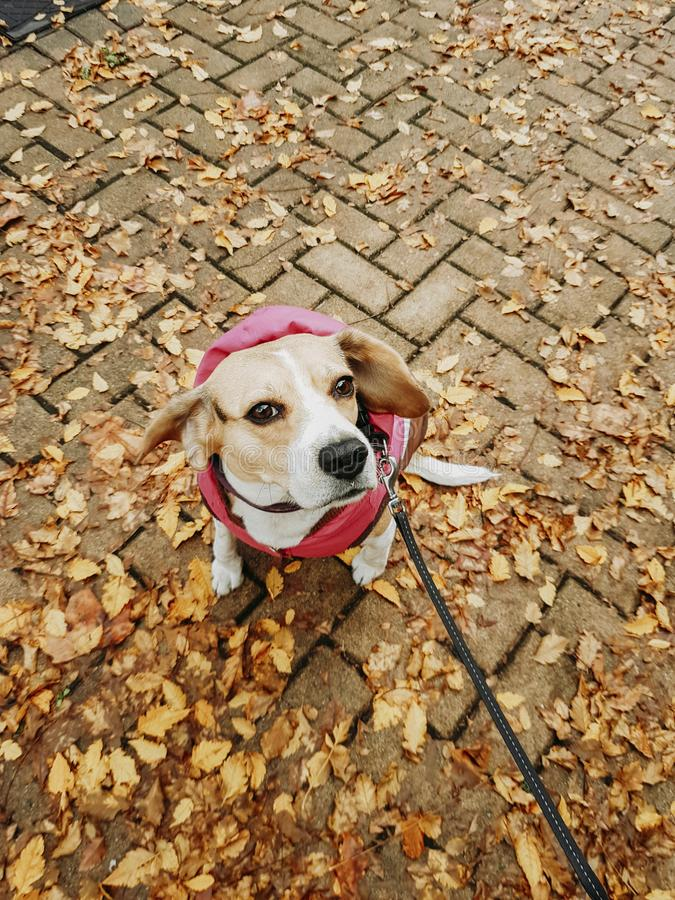 Dog with coat taking a walk down the street in autumn royalty free stock photography