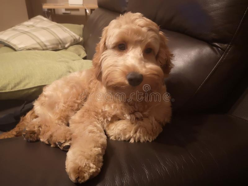 Dog cockapoo puppy stock images