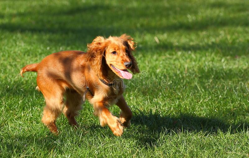 Download Dog running stock photo. Image of hair, beauty, outdoor - 30222664