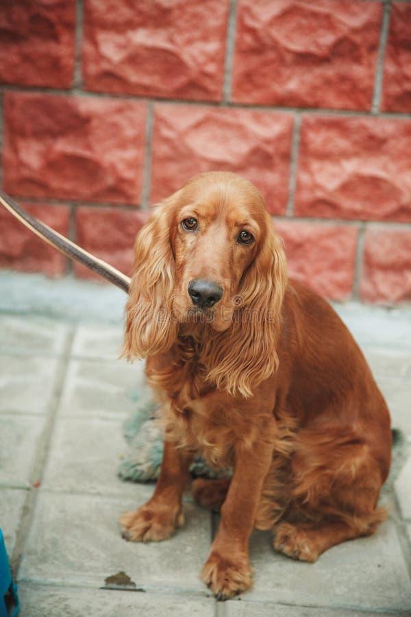 Dog cockerspanieln, brunt sammanträde i gatan arkivbild