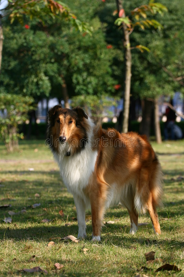 The dog of Collie royalty free stock photo