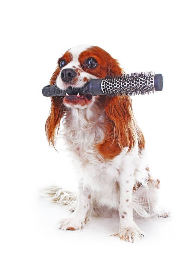 Good Cavalier Canine Adorable Dog - dog-comb-cavalier-king-charles-spaniel-dog-photo-beautiful-cute-cavalier-puppy-dog-isolated-white-studio-background-106042715  Snapshot_94650  .jpg