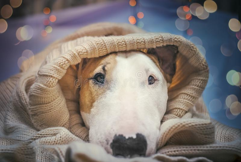 A dog welcomes the new year. Dog comfortably meets the new year in a plaid with lights royalty free stock photos