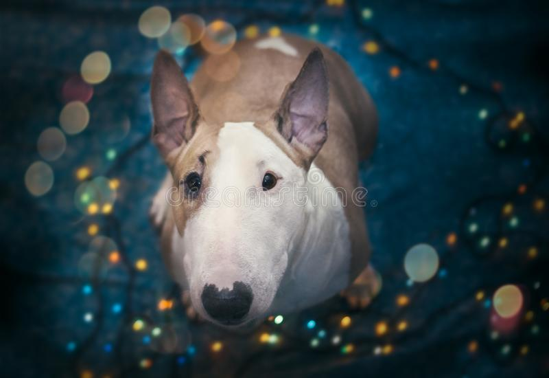 A dog welcomes the new year stock image
