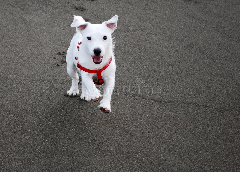 Dog Comming When Called royalty free stock image