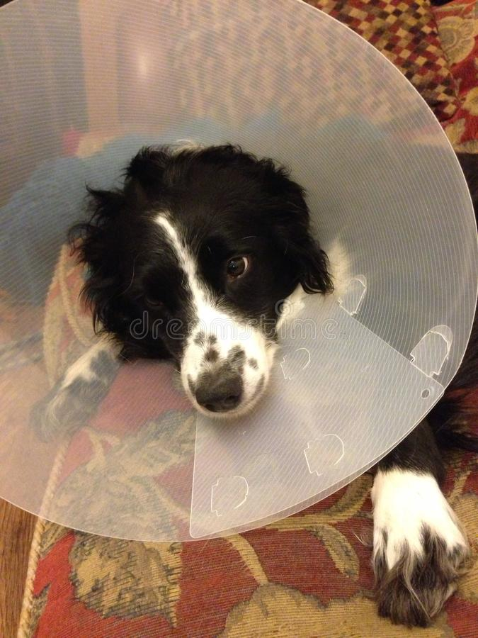 Dog in cone stock image