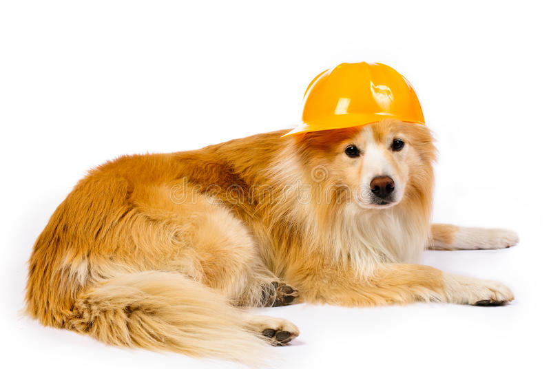 Dog with construction hard hat stock photo