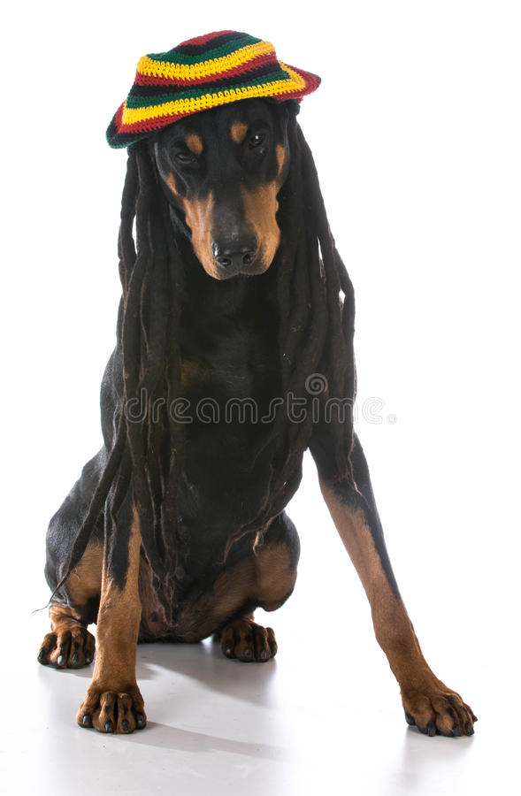 Dog in costume. Doberman dressed with dreadlocks on white background royalty free stock photography