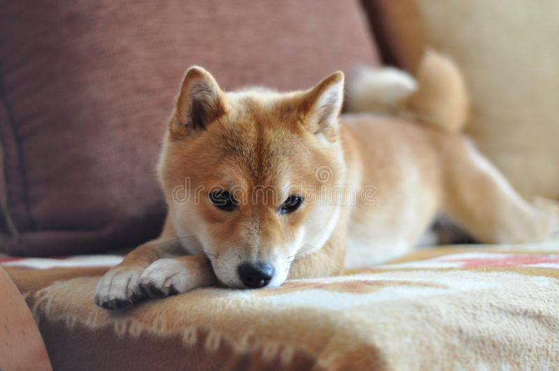 Dog on couch. Red shiba inu dog resting on couch stock photo