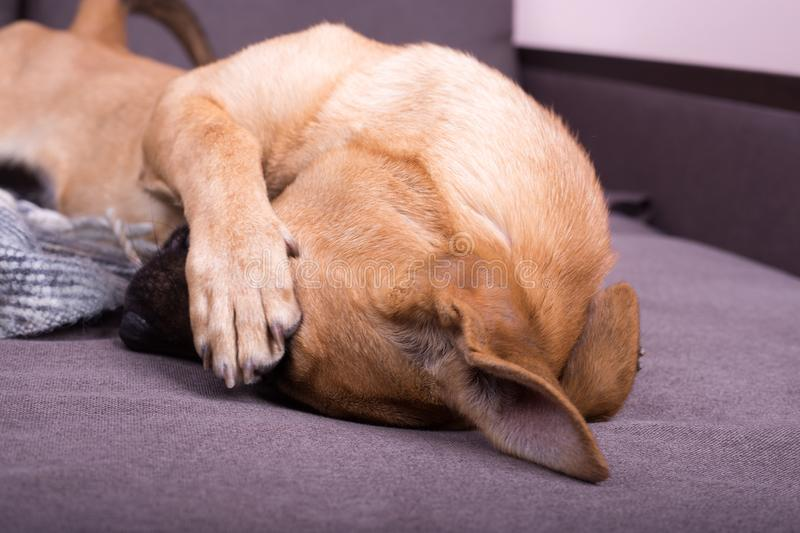 Dog covering his eye with his paw royalty free stock images